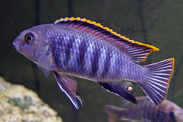 A purple and gold cichlid... I want a dozen. lol