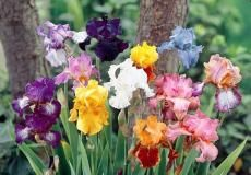 Iris flowers remind me of my family :)