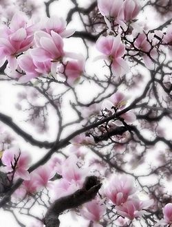 tulip tree Magnolia denudata 'Forrest's Pink' (Lily tree, Magnolia, Yulan)#..........thanks Chandra :)