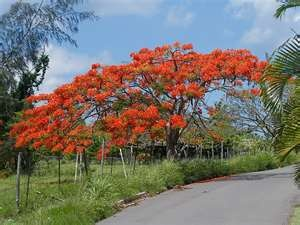 When I See A Flamboyan One Of The Favorite Tree That Grows All Over The Caribbean, I Get Very Homesick!