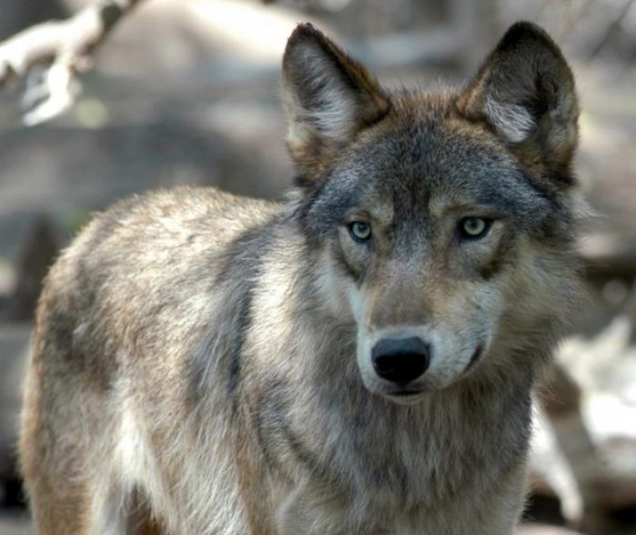 Idaho Fish and Game kills 23 wolves in Lolo Pass area