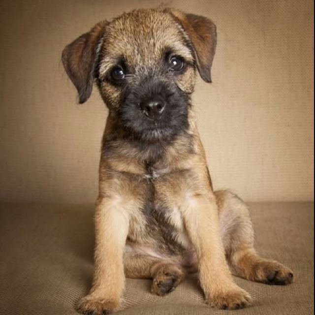 Border Terrier puppy #makesmehappy @White Stuff UK