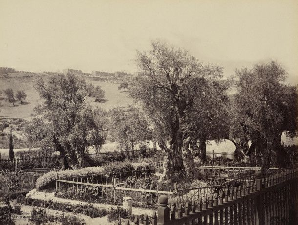 Garden of Gethsemane [Jerusalem] Creator: Francis Bedford (1815-94) (photographer) Creation Date: 2 Apr 1862