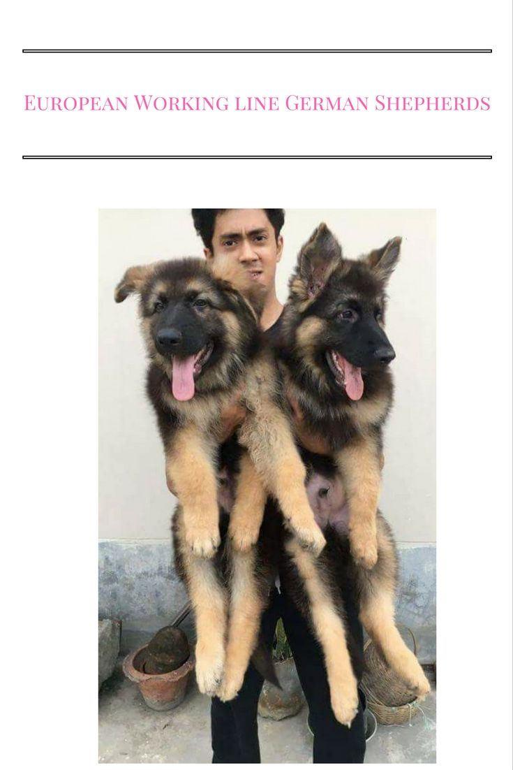 European Working line German Shepherds Age: 3.5 months Color: Black and Tan Gender: Male Fully vaccinated