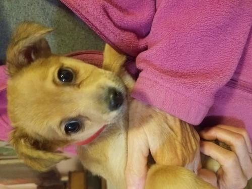 Help This Sweet Pup Find A Home Thx For Sharing Chihuahua