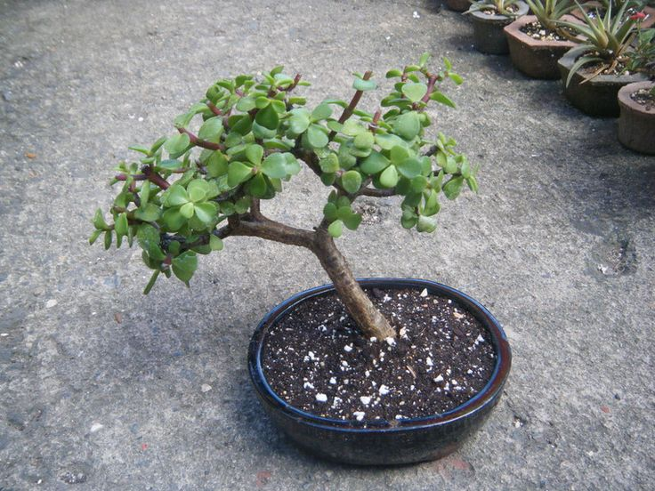 Venta de bonsai pre bonsai tiestos hypertufa, Venta de bonsai, tiestos y herramientas en el area de Carolina Puerto Rico. Regala un bonsai! Tiestos de hypertufay. Venta al por-mayor Bonsai for gifts Hypertufa Pots