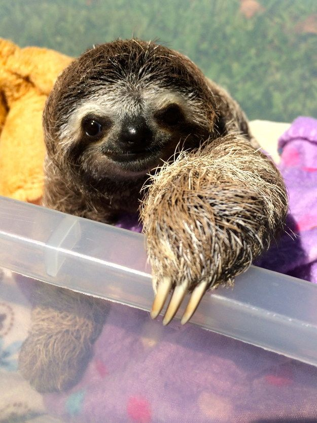 She is a three-fingered sloth, meaning she has three fingers (those things that look like claws are actually finger bones, yo!).