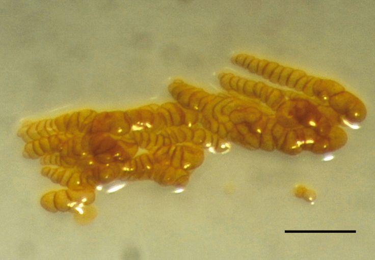Phaselicystis flava  [000.007.218]