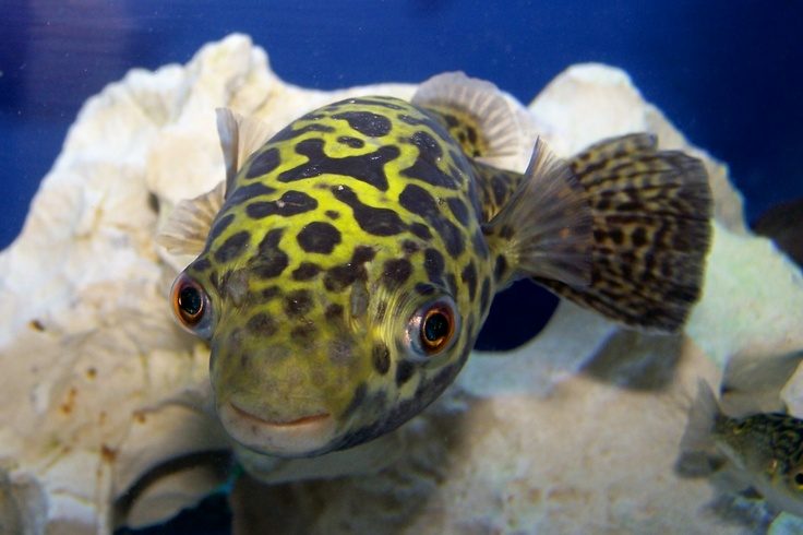 17 Best Images About Fish Puffer On Pinterest