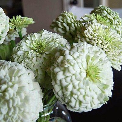 50+ Zinnia Polar Bear Flower Seeds ,Under The Sun Seeds