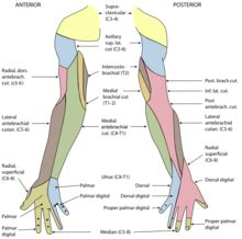 Ulnar nerve - Wikipedia, the free encyclopedia