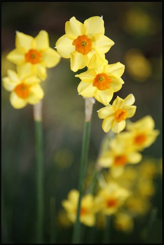 #Spring orange & yellow Narcissus flowers (by Brian Haslam)