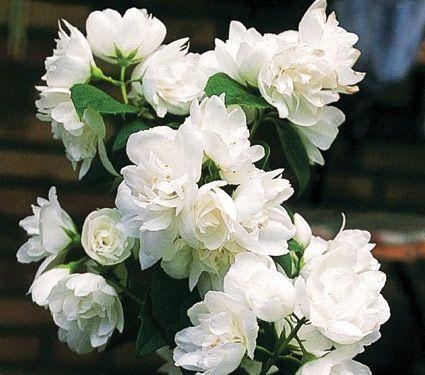 Philadelphus 'Snow White Sensation®' (Mock Orange) -- 6-8' h & w -- full to part sun -- white flowers have WONDERFUL fragrance