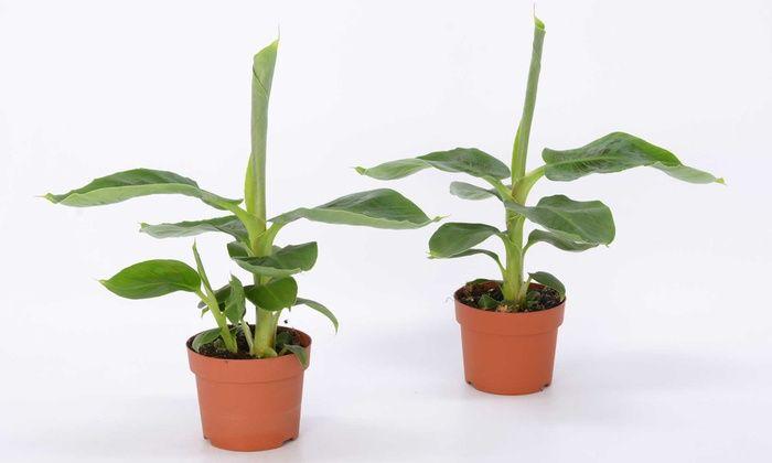 Bananenplanten voor pot of volle grond met een mogelijke hoogte van 1,5 m