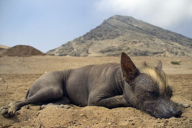 adorable Peruvian hairless dog