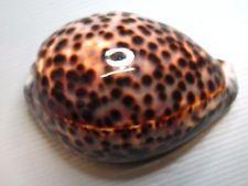 CYPRAEA TIGRIS SCHILDERIANA - GREAT COLOR HAWAII 112.3 mm F+++/GEM - B3507