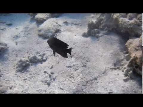 обитатели красного моря, Рыба ласточка черная, Зулусская рыба ласточка, ...
