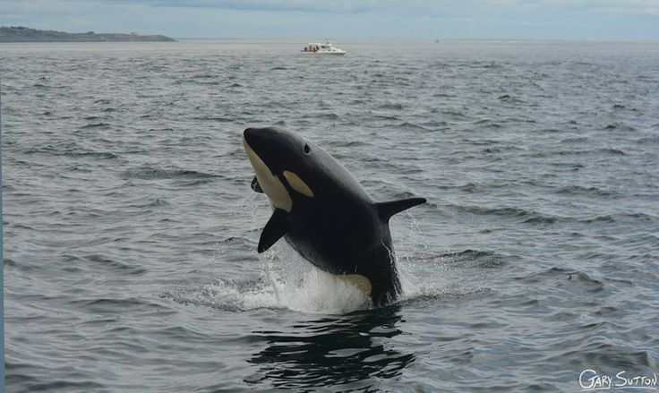 "L118 ""Jade"" a two year old whale putting a show! June 28, 2014 Photo Taken By: Gary Sutton"