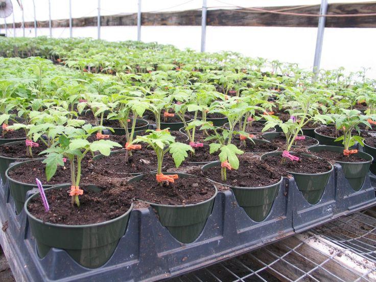 Выращивание томатов на двух корнях. Обсуждение на LiveInternet - Российский Сервис Онлайн-Дневников