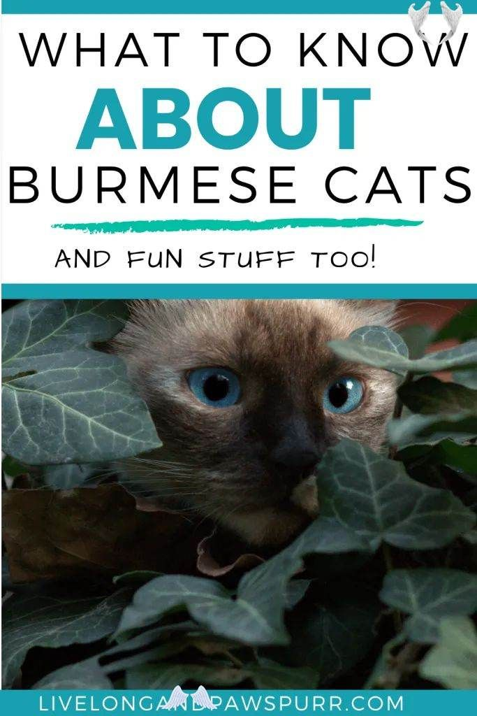 Everything You Need To Know About Burmese Cats Live Long And Pawspurr Everything You Need To Know About Burmese Cats Li In 2020 Burmese Cat Kittens Funny Baby Cats