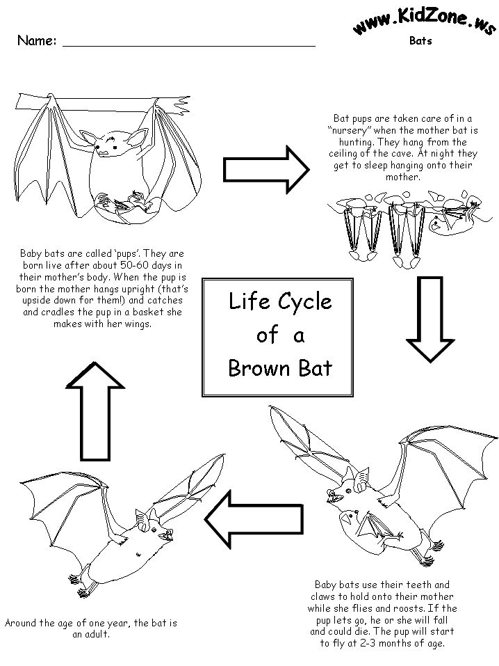 Bat Activity Sheets - Lifecycle of a Brown Bat