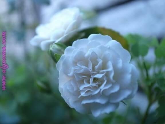 صور ورد وزهور 1 149 Flowers Rose Plants
