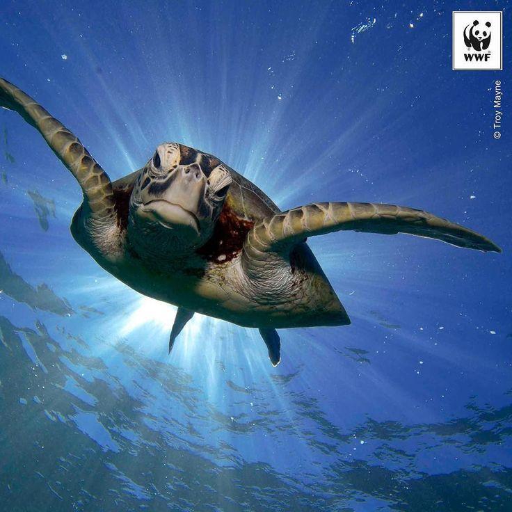 Haftanın Fotoğrafı: Yeşil deniz kaplumbağası (Chelonia mydas) Büyük Mercan Resifi Avustralya  Bugün Dünya Kaplumbağa Günü!  #wwf #wwf_turkiye #kaplumbağa #turtleday #turtle #cheloniamydas #denizkaplumbağası #greatbarrierreef #gbr by wwf_turkiye http://ift.tt/1UokkV2
