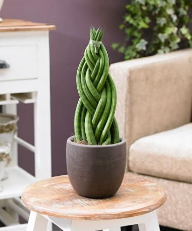 Pix For > Sansevieria Cylindrica Braided