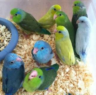 parrotlets for sale - AT Yahoo! Search Results