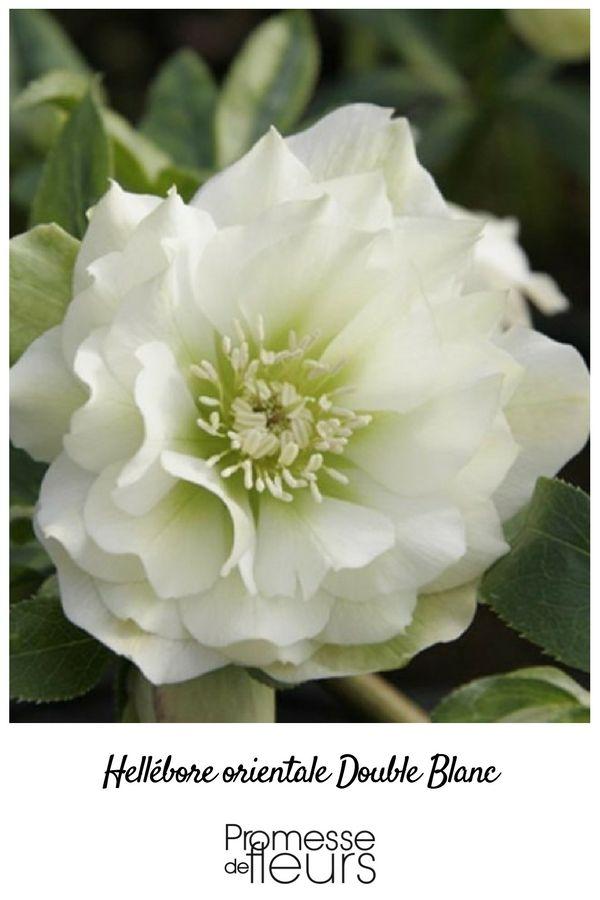 Une Hellébore à fleurs doubles d'un blanc pur qui éclairera les zones ombrées de votre jardin en hiver.