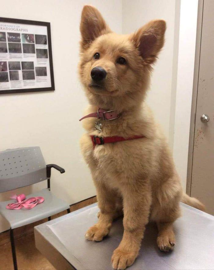 Golden Retriever x German Shepherd Puppy