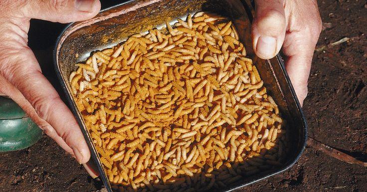 Vermes brancos em latas de lixo. O lixo apodrecendo cheira mal aos seres humanos, mas as moscas reconhecem esse cheiro como fonte de alimento viável. Se pequenos vermes brancos cobrirem seus sacos de lixo e sua lixeira, isto indica que as moscas encontraram um caminho dentro do lixo para chegar até detritos e comidas estragadas. Livrar-se de vermes brancos é um processo rápido e ...