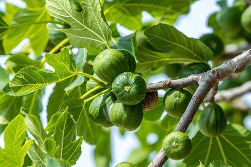 Feigenbaum schneiden – So sorgen Sie für einen schönen & gesunden Wuchs