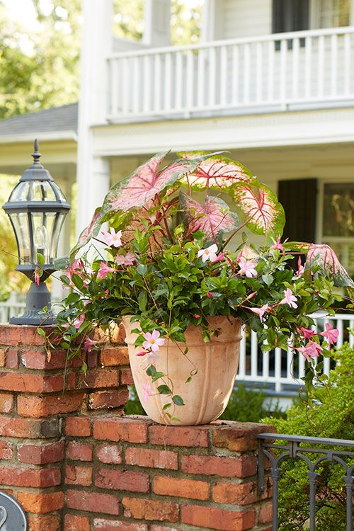 Sun Loving Caladiums And Pink Mandevilla Are A Perfect Combo For Hot Summer Areas Both Of These Plants Love Steamy Sultry Temp Container Gardening