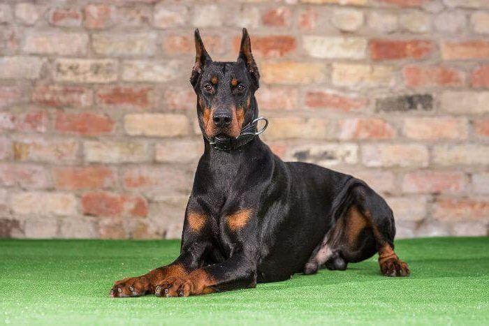 Josi Dobermans for Sale in UK, Josi is strong minded with an innate ability to protect. Call Now: 0785 8120 456 for details.