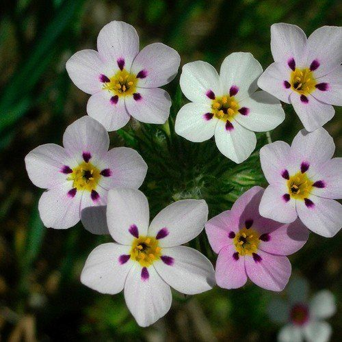 False Baby Stars Ground Cover Seeds (Leptosiphon French Hybrids Mix) 200+Seeds