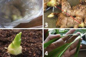 coltivare-zenzero-vaso