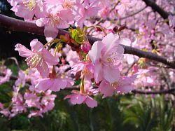 Kawazu Sakura Matsuri - Cherry Blossom Festival in Izu peninsula - Izu Shirahama Pension Sakuraya