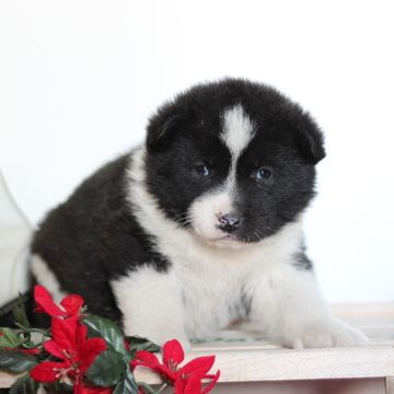 Akita puppy for sale in GAP, PA. ADN-52871 on PuppyFinder.com Gender: Female. Age: 5 Weeks Old