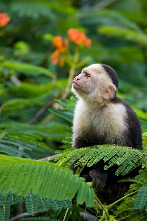 Capuchin Monkey in the Costa Rican Rainforest. Although often used in labs or entertainment, or kept as exotic pets, Capuchin Monkeys are extremely intelligent. There is some evidence to show they have at least limited self awareness and ability to understand what other creatures know or think (and ability which develops in humans around age 3-4). They can learn to understand the concept of a medium of exchange (using money), which was previously believed to be unique to humans. [info from…