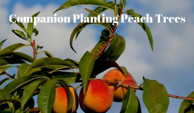 Companion Planting Peach Trees Growing Guides Companion Planting Peach Trees Planting Garlic