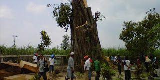 Heboh, Pohon 200 Tahun Berdiri Lagi Seusai Tumbang | YPK Amanah