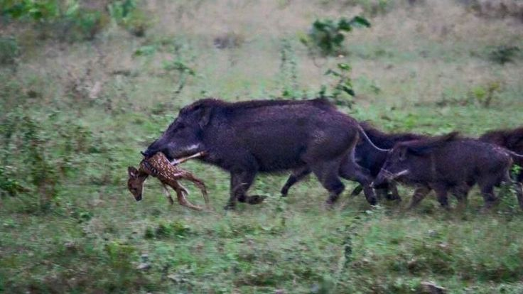 03-31-2016:  Deer hunters face unwanted competition as feral hog explosion thins herds:  This photo, provided by LouisianaBowhunter.com, shows a herd of wild hogs feasting on a deer fawn.