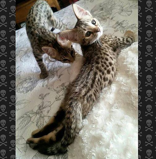Savannah cat, Savannah Kittens for sale, Savannah Breeder, Savannah cat information
