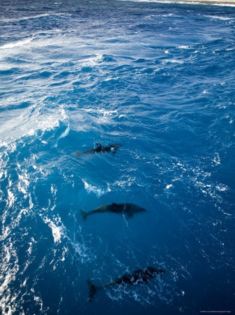 Bottlenose Dolphins Ride the Bow Wave of a Boat, French Polynesia
