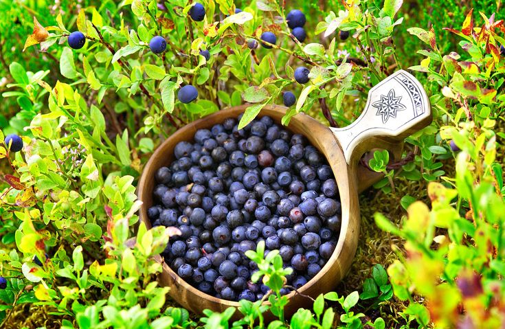 Berries - superfoods of forests and bogs -Rovaniemi, Lapland, Finland