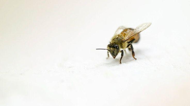 Mushrooms saving honeybees