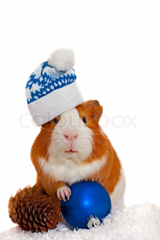 Stock image of 'Guinea pig in winter hat'
