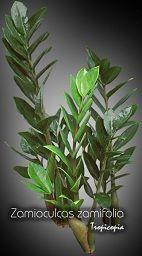 Foliage plant - Zamioculcas zamifolia - Zz plant