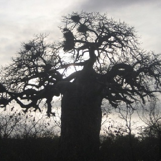The one and only baobab